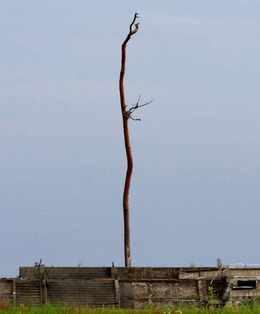 fAnother_miracle_pine_tree_in_Rikuzentakata