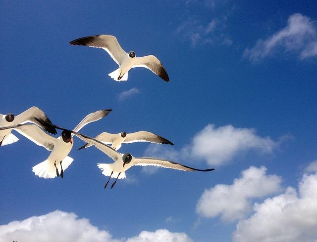 seagulls-401453_640